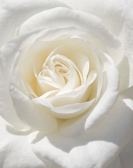White Rose 1 (2)