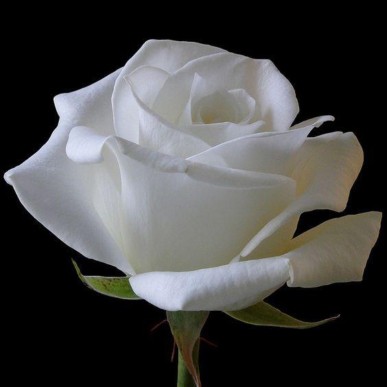 White Rose 4