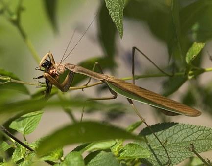 praying-mantis-67762__340