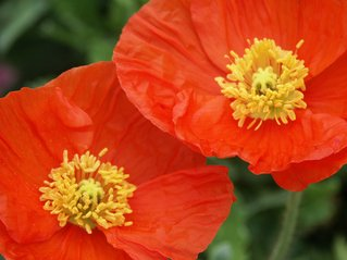 more-poppies-1454699