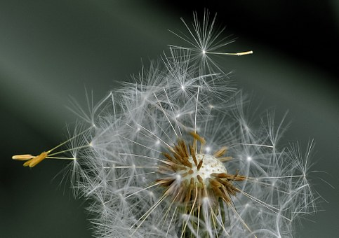 dandelion-411756__340