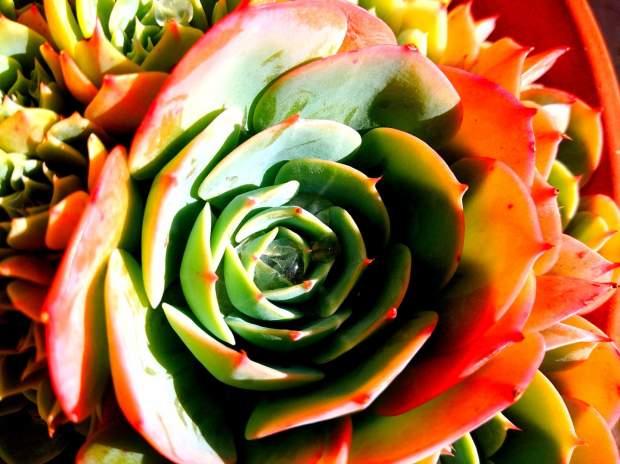 Soul Succulent